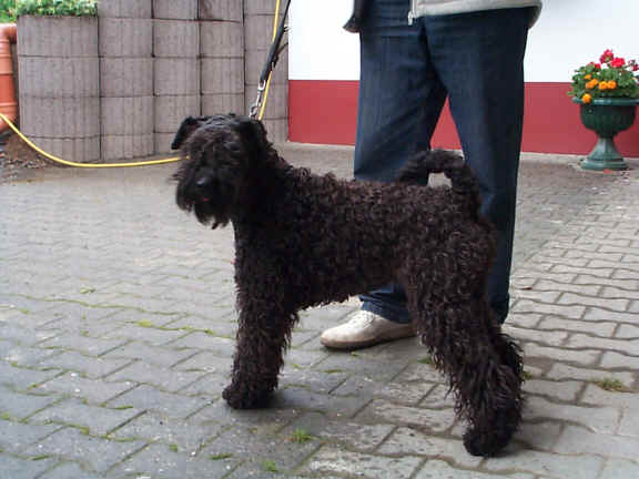 Der Kerry Blue Terrier