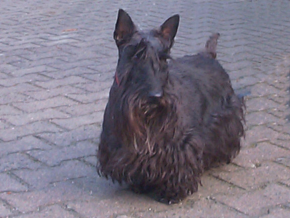 Der Scottish Terrier